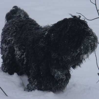 Black Russian Terriers from Mountain Crest Kennels
